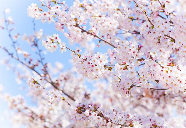 今週の人気記事|iPhoneの標準カメラアプリで桜を綺麗に撮る方法や2種類あるLINEのグループについてなど