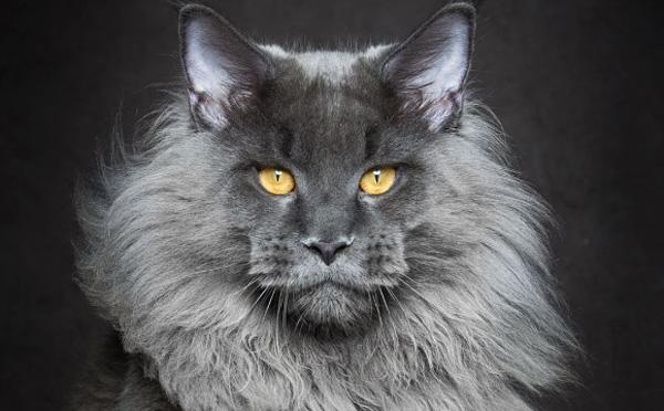 世界最大の家猫「メインクーン」がミステリアスでかっこよすぎる!