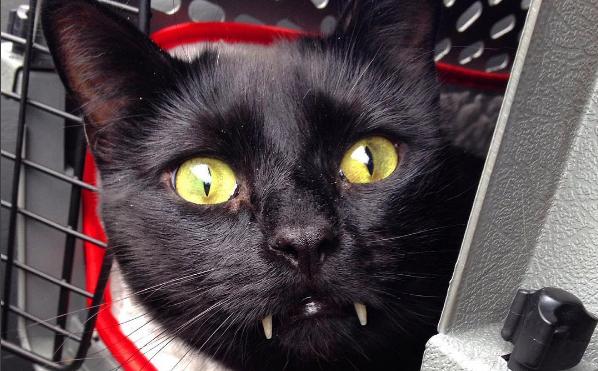 漆黒ボディに鋭い牙がキラリ…☆ドラキュラみたいなニャンコがインスタグラムで話題に