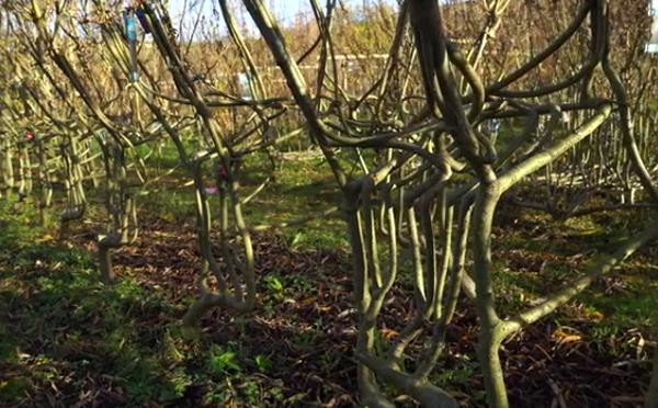 """この木なんの木?イギリスにある""""イスのなる木""""がおもしろい!"""
