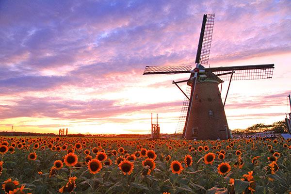 夏のドライブにもおすすめ!オランダ気分を体験できるひまわり畑「風車のひまわりガーデン」が千葉県佐倉市で開催!