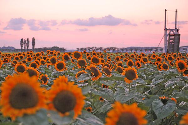 畑 ひまわり 千葉 県
