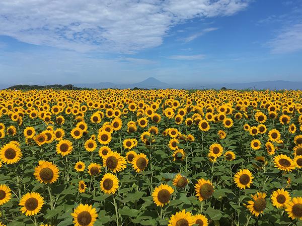 これぞ夏の絶景。横須賀市「ソレイユの丘」では7月中旬~8月中旬にかけて、ヒマワリ畑が見頃を迎えます